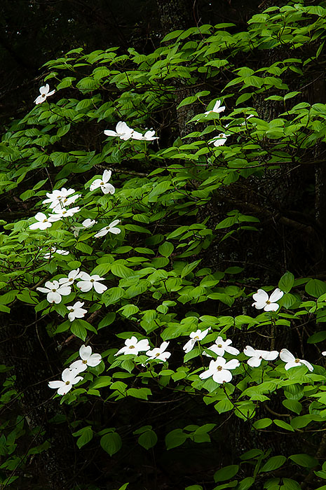Flowering dogwood tree, Pea Ridge National Military Park, Arkansas